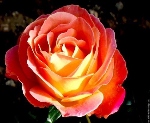 rose louis de funès.jpg
