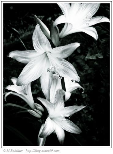 amaryllis-belladonna-noir-blanc.jpg